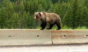 Yellowstone visitors told what to do when bears touch vehicles